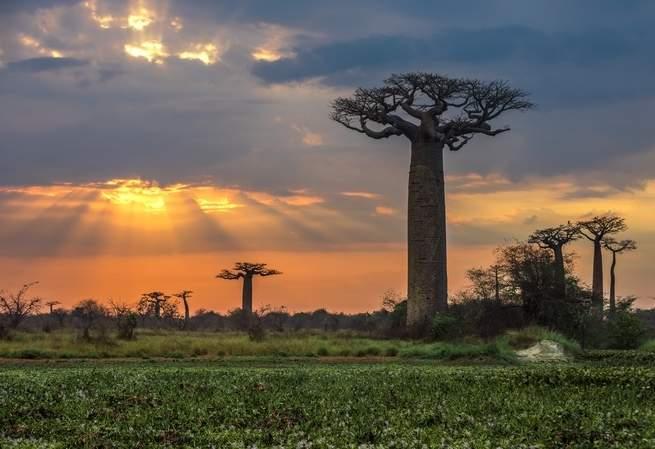 كان العلماء يريدون أن يفهموا كيف تعيش أشجار الباوباب لآلاف السنين. ثم بدأت تلك الأشجار القديمة بالموت