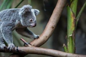 جينات حيوان الكوالا قد تكشف عن سبب بقائه اعتماداً على نظامه الغذائي السام