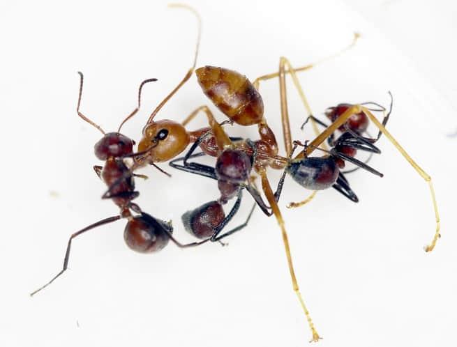 أربعة أساليب عنيفة تضحي فيها الحشرات بنفسها لصالح المستعمرة