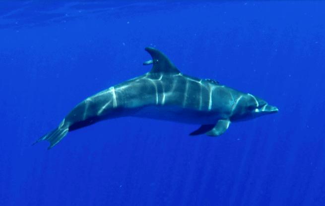 الدم الغني بالكريات الحمراء يساعد بعض أنواع الدلافين على الغوص لمسافة 1000 متر