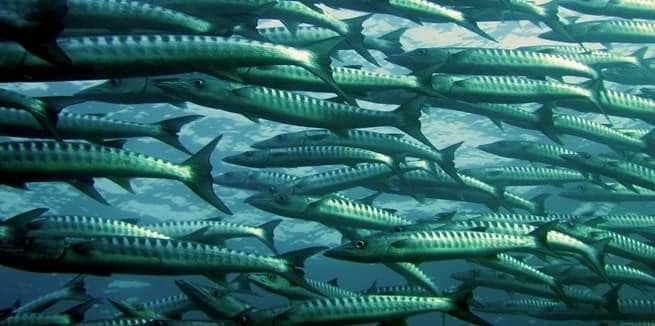 ارتفاع حرارة البحار يفقد بعض الأسماك حاسة الشم