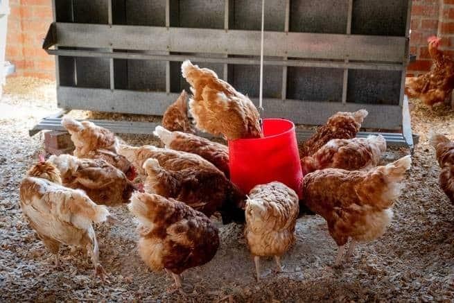 بحث عن الدجاج من الستينيات يفوز الآن بجائزة الإوزة الذهبية