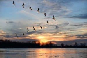 كيف تُحلّق الطيور في أسرابٍ معاً؟