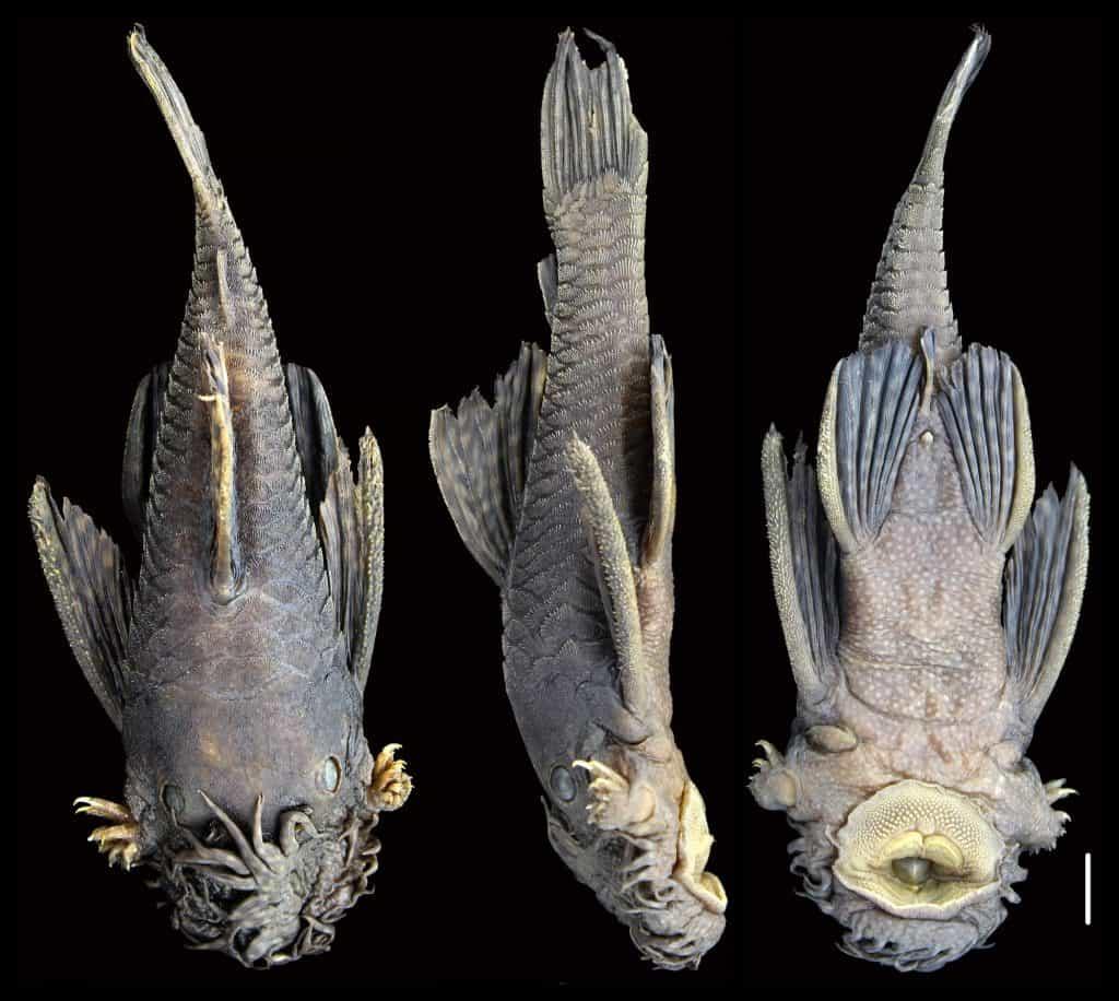 ميجابكسلز: أبطالٌ خارقون تحت الماء: اكتشاف أسماك سِلَّور لها مَجَسَّات على خُطُومها