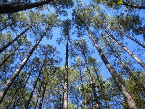 استخدام صمغ الأشجار بدلاً من الوقود الأحفوري في الصناعة