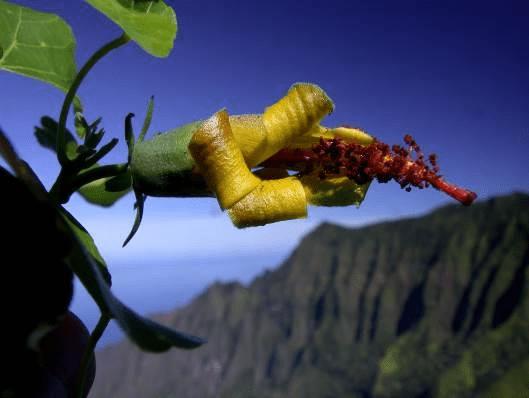 قولوا «مرحباً» لزهرة من هاواي عادت من الانقراض