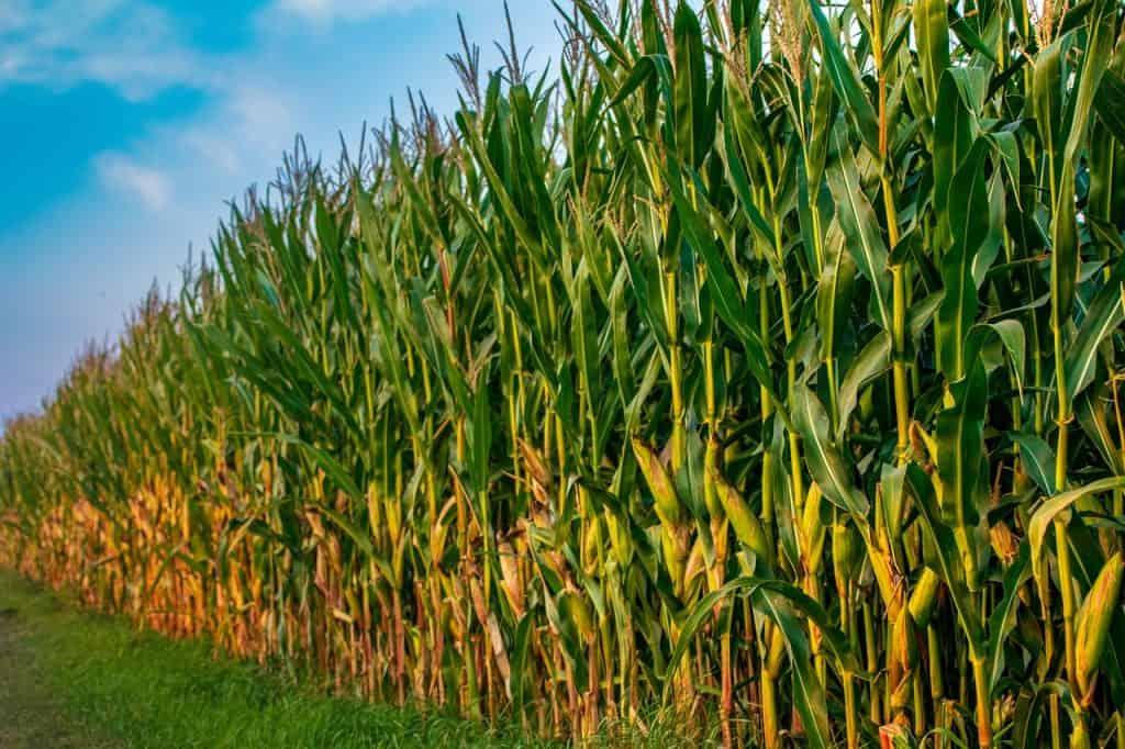 تلوث الهواء الناتج عن زراعة الذرة ربما يتسبب في آلاف الوفيات سنوياً