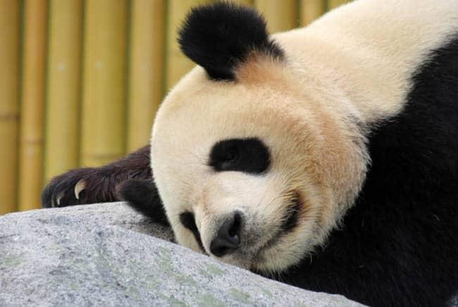 دب, باندا, حلم, الأحلام, الحيوانات, الحيوانات الأليفة, هل تحلم الحيوانات