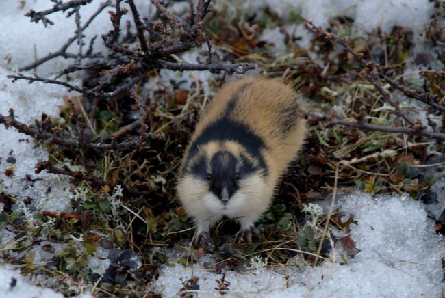 لاموس, القوارض, حيوانات, بيئة, القطب الشمالي