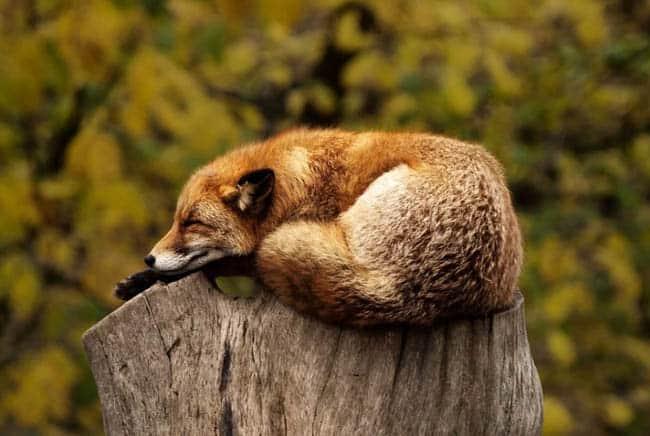 ثعلب, حلم, الأحلام, الحيوانات, الحيوانات الأليفة, هل تحلم الحيوانات