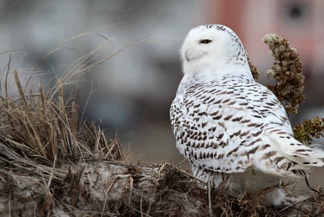بومة ثلجية, القطب الشمالي, برية, حيوانات, طيور