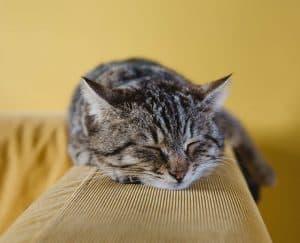 لماذا تخرخر القطط؟