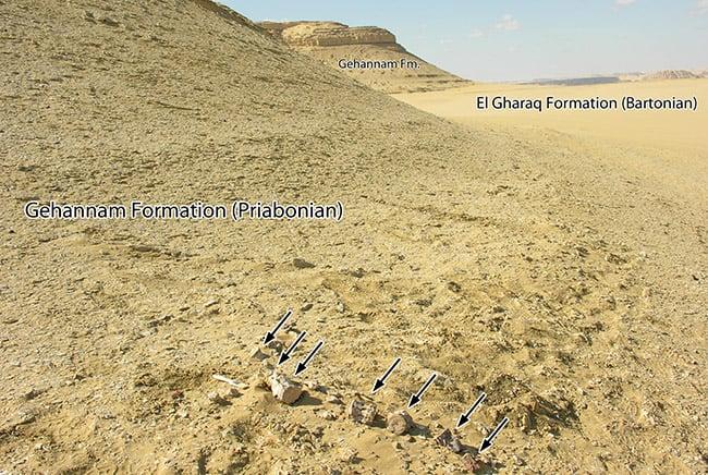 صورة توضح 7 فقرات من الحوت الجديد في تكون جهنم منطقة وادي الحيتان في مصر