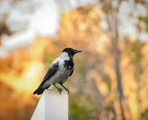 هل تستحق الغربان هذه السمعة السيئة؟