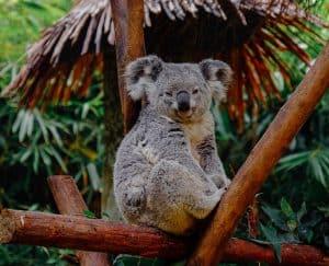 ما المصير الذي سيواجهه حيوان الكوالا بعد حرائق أستراليا؟