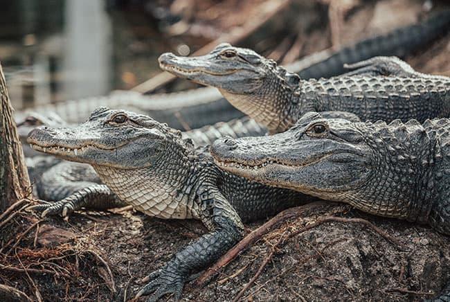 تمساح, التغير المناخي, مقالات علمية قصيرة