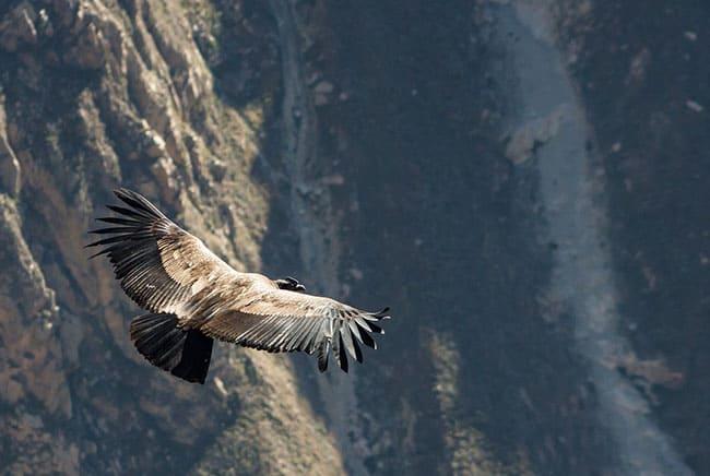 طائر الكوندور, التنوع الحيوي, انقراض