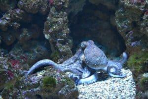 سر الأخطبوط: تزداد الثآليل ويقل الحجم حين يعيش في عمق أكبر