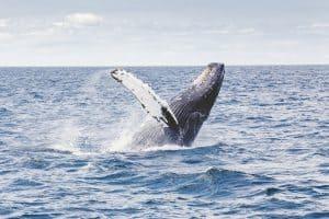 الحيتان الحدباء لم تعد مهددة بالانقراض: ولهذا السبب تعيش في بيئة بحرية بديلة