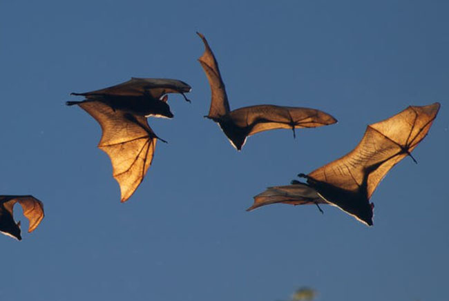 خفافيش, فيروس كورونا
