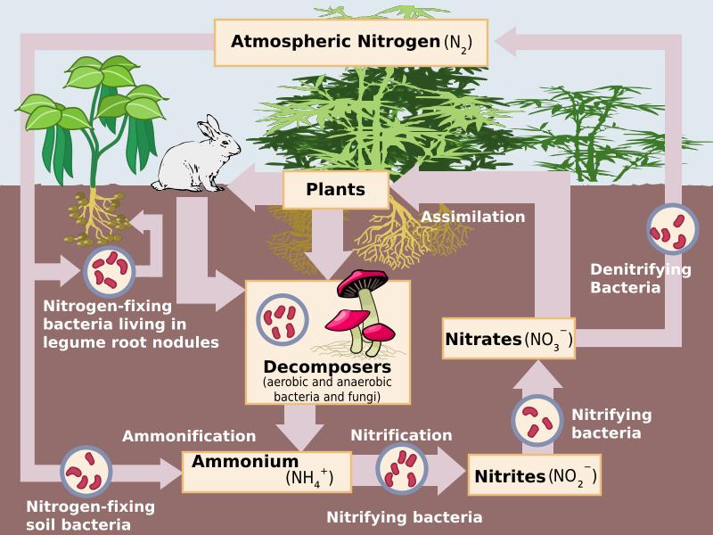 دورة النيتروجين