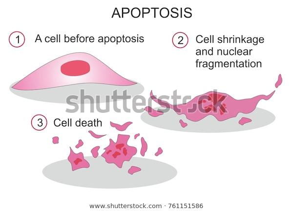 موت الخلية المبرمج