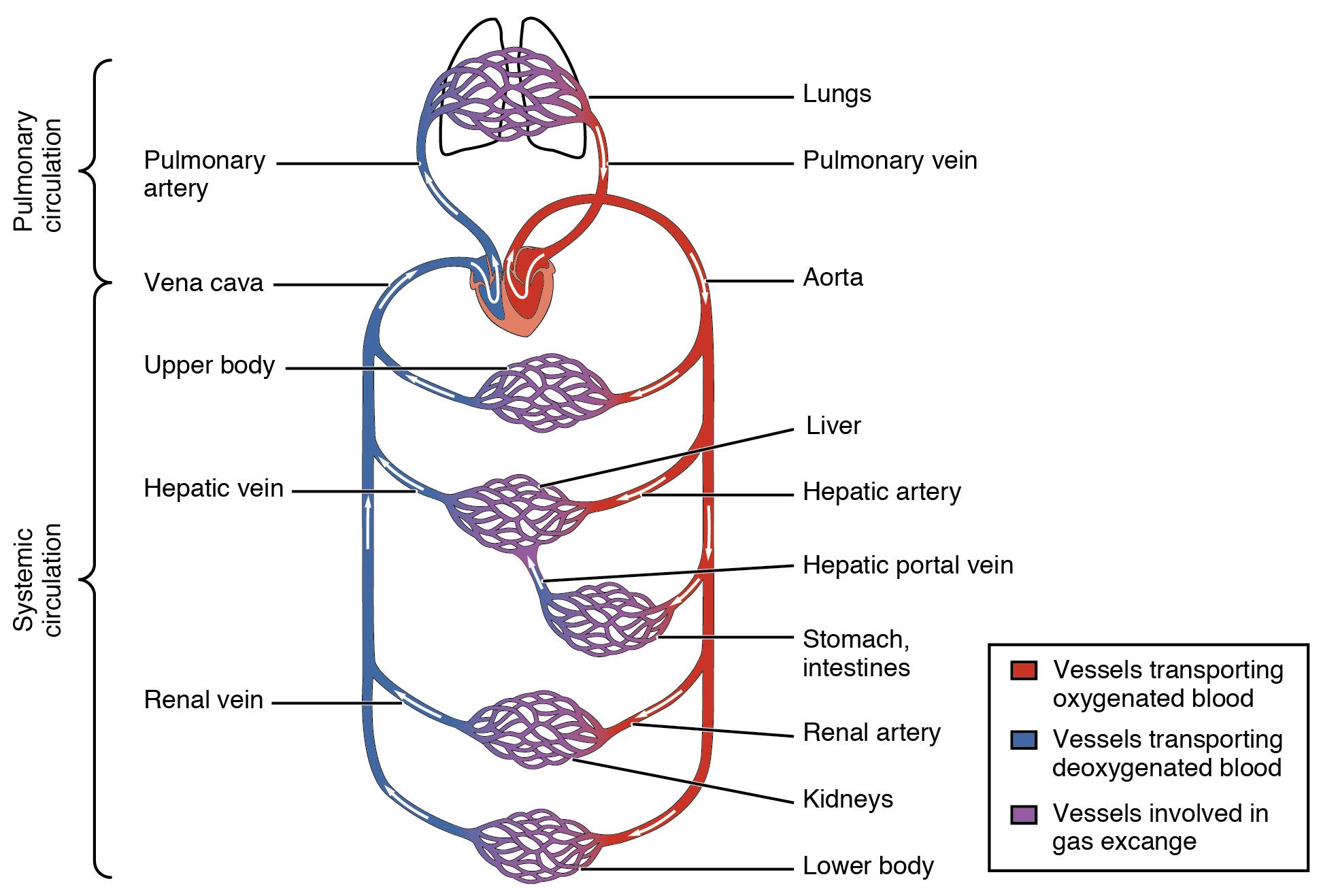 دورة دموية صغرى