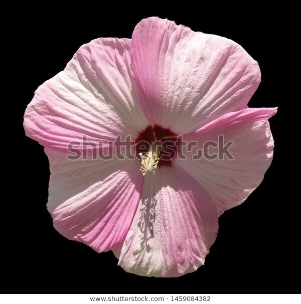 تويج الزهرة