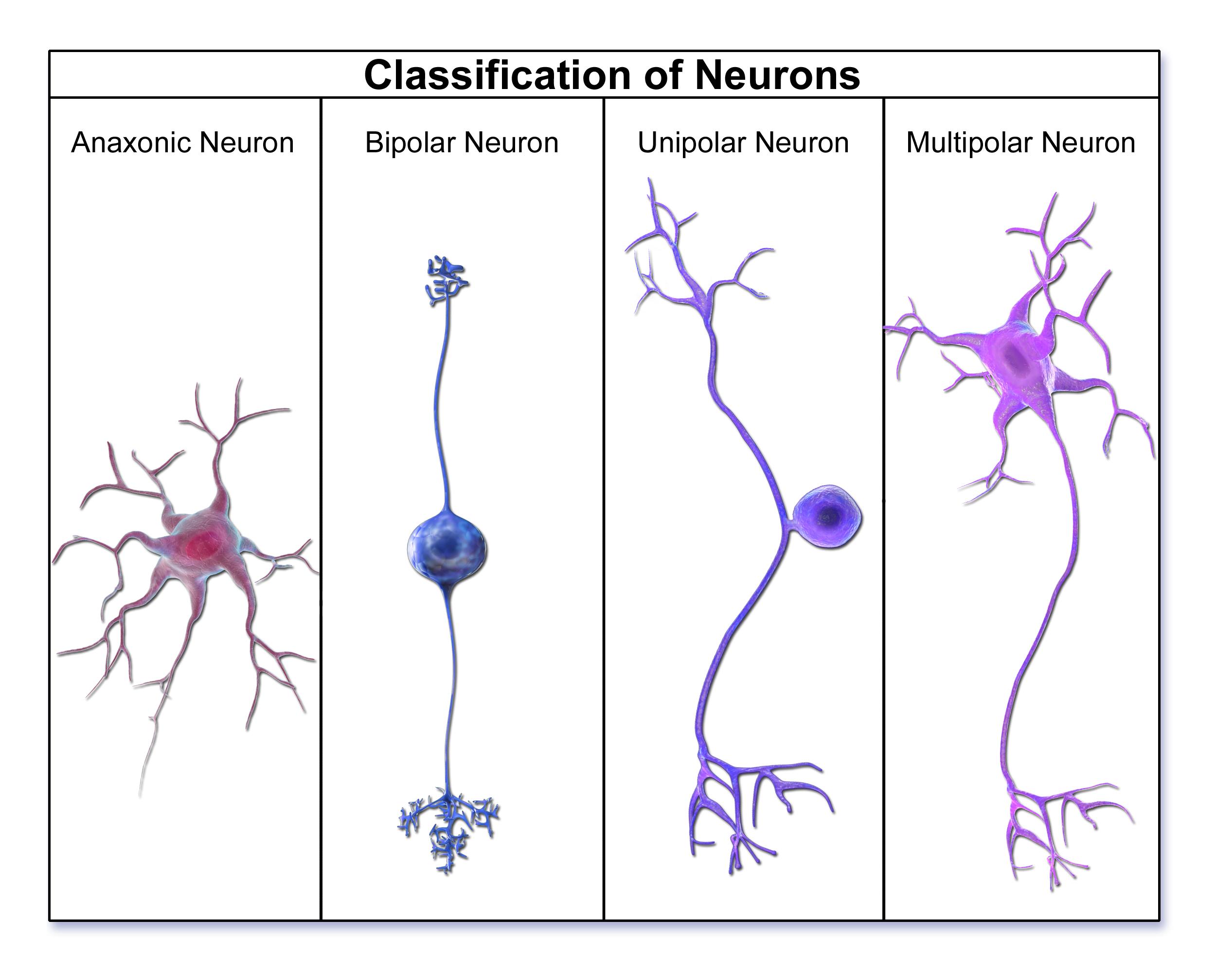 خلية عصبية ثنائية القطب