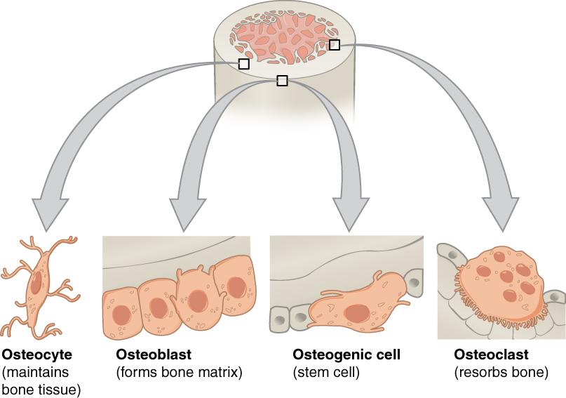 خلية عظمية