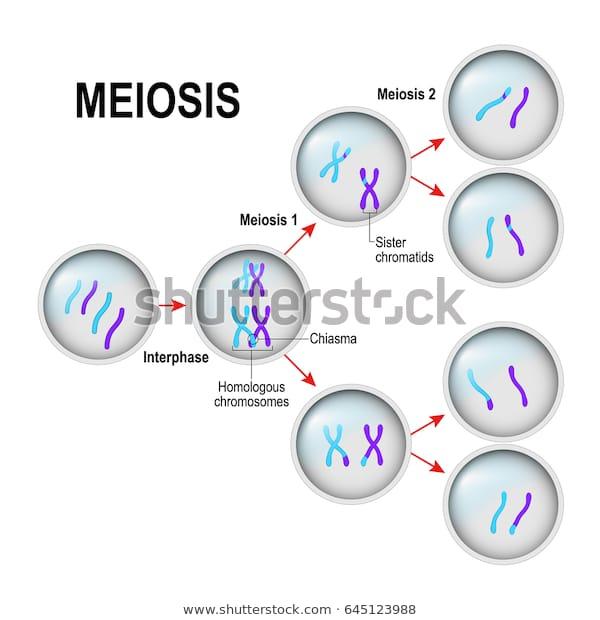 الإنقسام المنصف للخلية