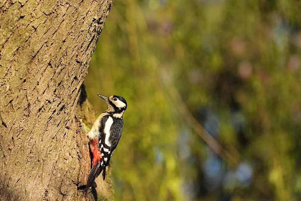 معارك مميتة بين طيور نقار الخشب على مصادر الغذاء
