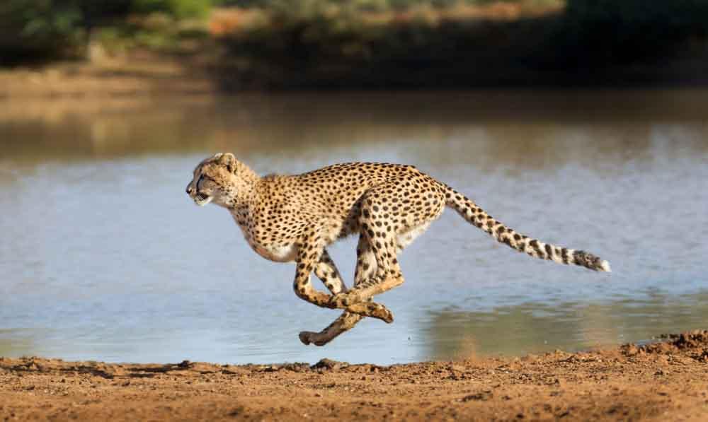 أحدهم يضاهي سرعة الفيراري: أسرع 10 حيوانات في العالم