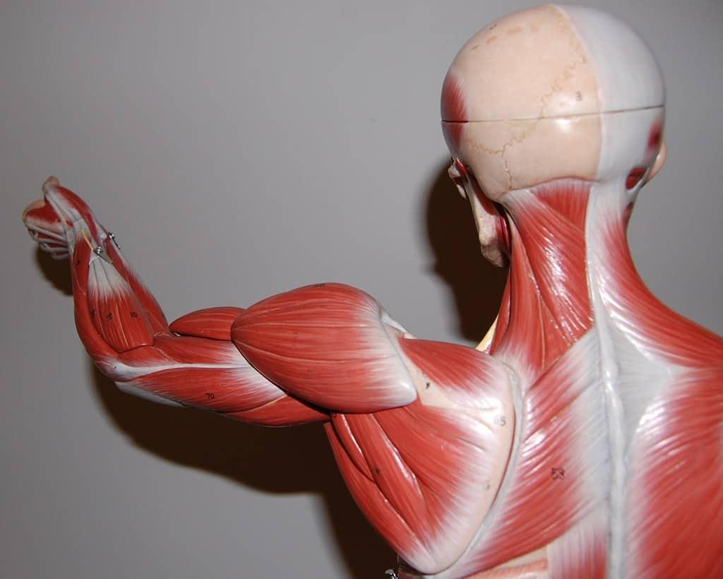 العضلات الهيكلية: دليلك لفهم أكثر العضلات وفرة في الجسم