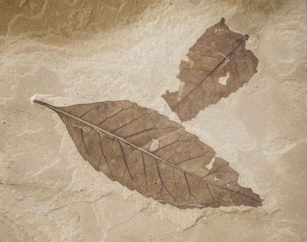حفريات النباتات: سجلات تحكي لمحة عن مناخ الأرض القديم ومستقبلنا