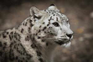 سادس الحيوانات: إصابة الفهد الثلجي بفيروس كورونا