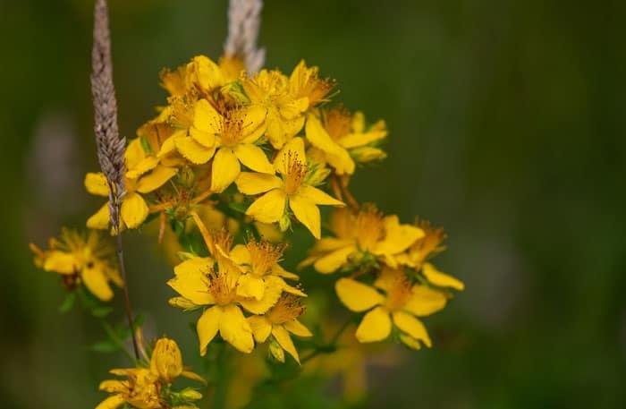 نبتة سانت جون, نباتات علاجية, طب شعبي