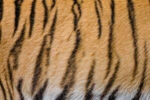 لماذا تمتلك النمور خطوطاً؟