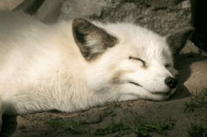 سلسلة الشتاء: السُّبات الشتوي أو النوم الطويل دون حمل أعباء الغذاء