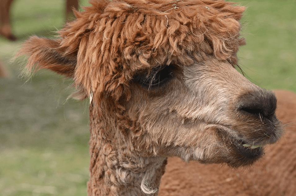 من حيوان الألبكة: أجسام مضادة نانوية لعلاج فيروس كورونا