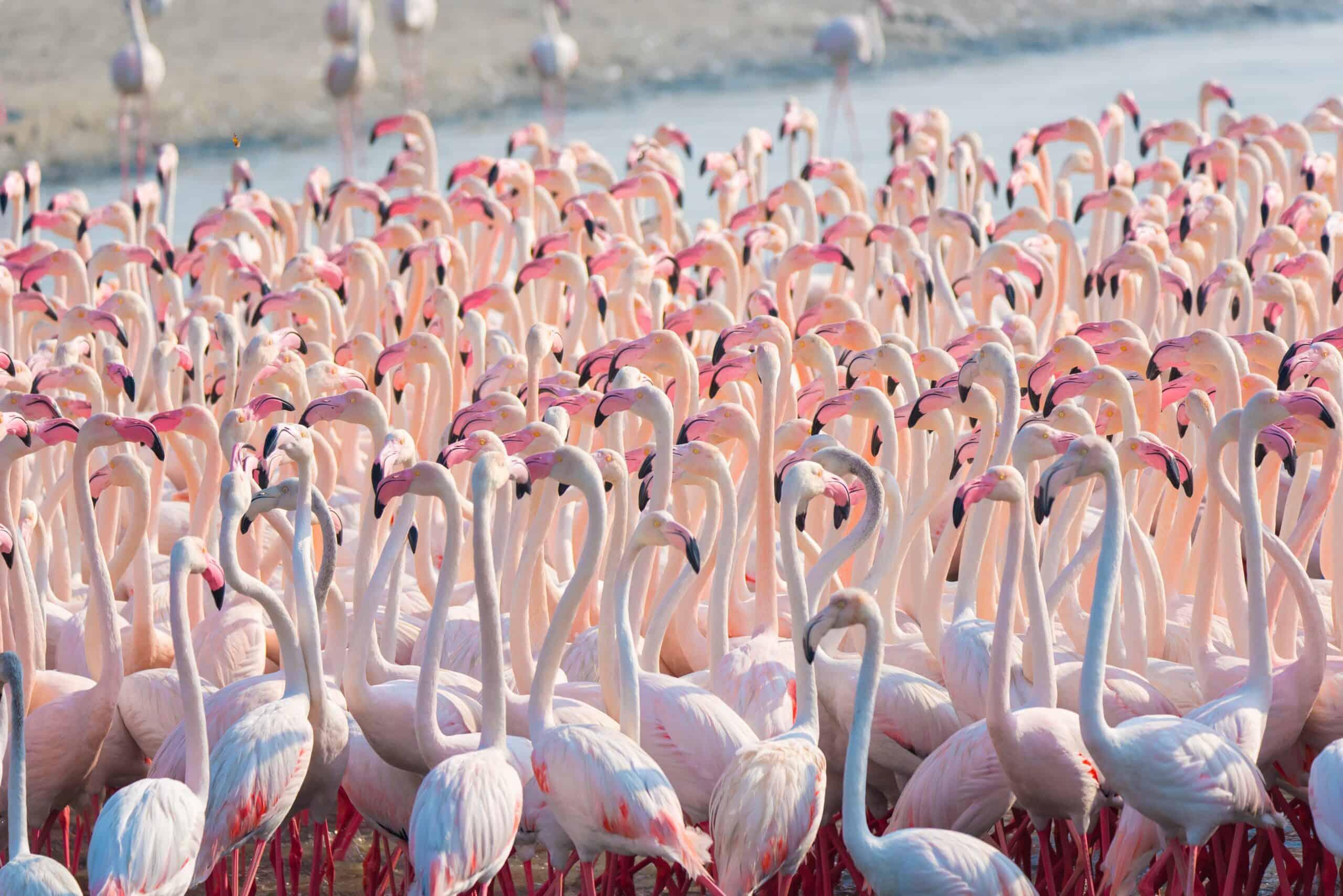 طائر الفلامنجو: كل ما تريد معرفته عن هذا الوردي الفاتن