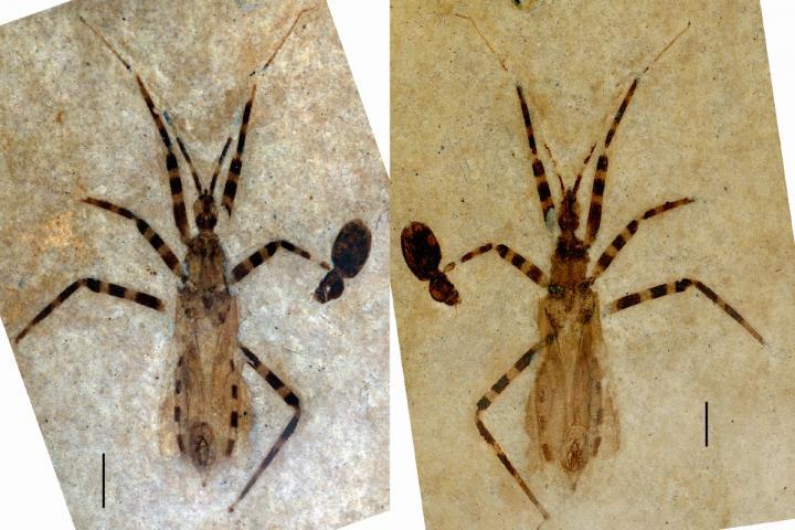 حفرية لحشرة قاتلة تخبرنا عن تكاثر الحشرات