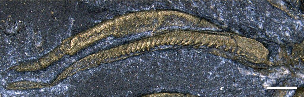 أول دليل على أن الكائنات البحرية تنفست من ساقها منذ 450 مليون سنة