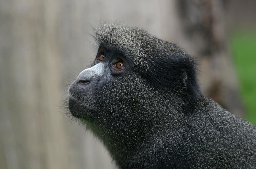 إناث القرود تستخدم ذكورها كجدران حماية ضد الحيوانات المفترسة