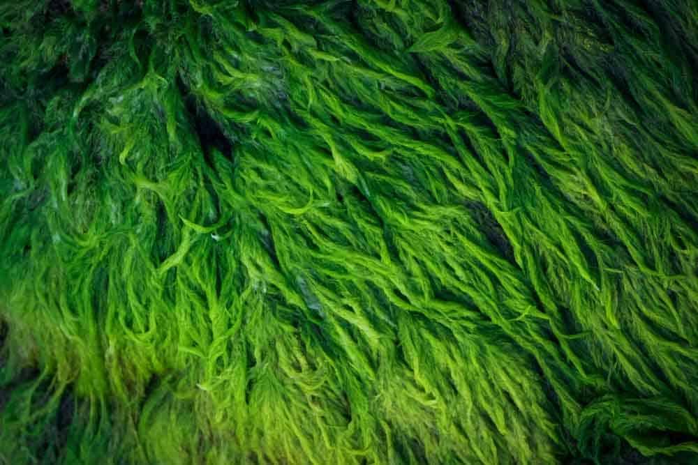 يرقات الذباب والطحالب قد تمثّل طعام المستقبل