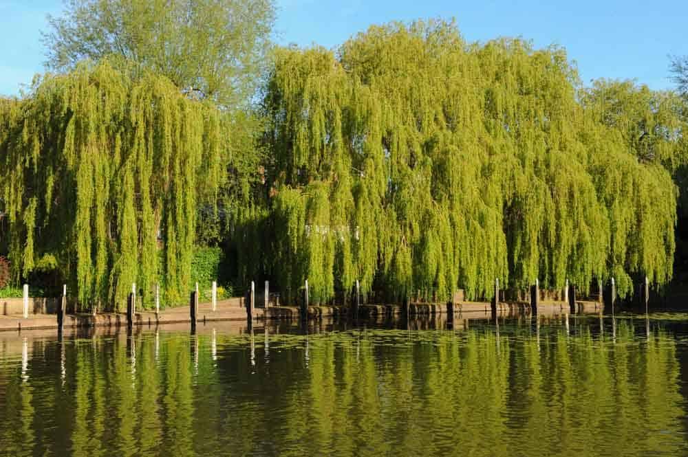 أشجار الصفصاف قد تساعدنا في معالجة مياه الصرف الصحي