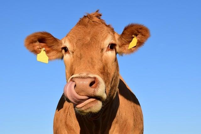 صديقة للبيئة: ميكروبات في معدة الأبقار قادرة على تفكيك البلاستيك